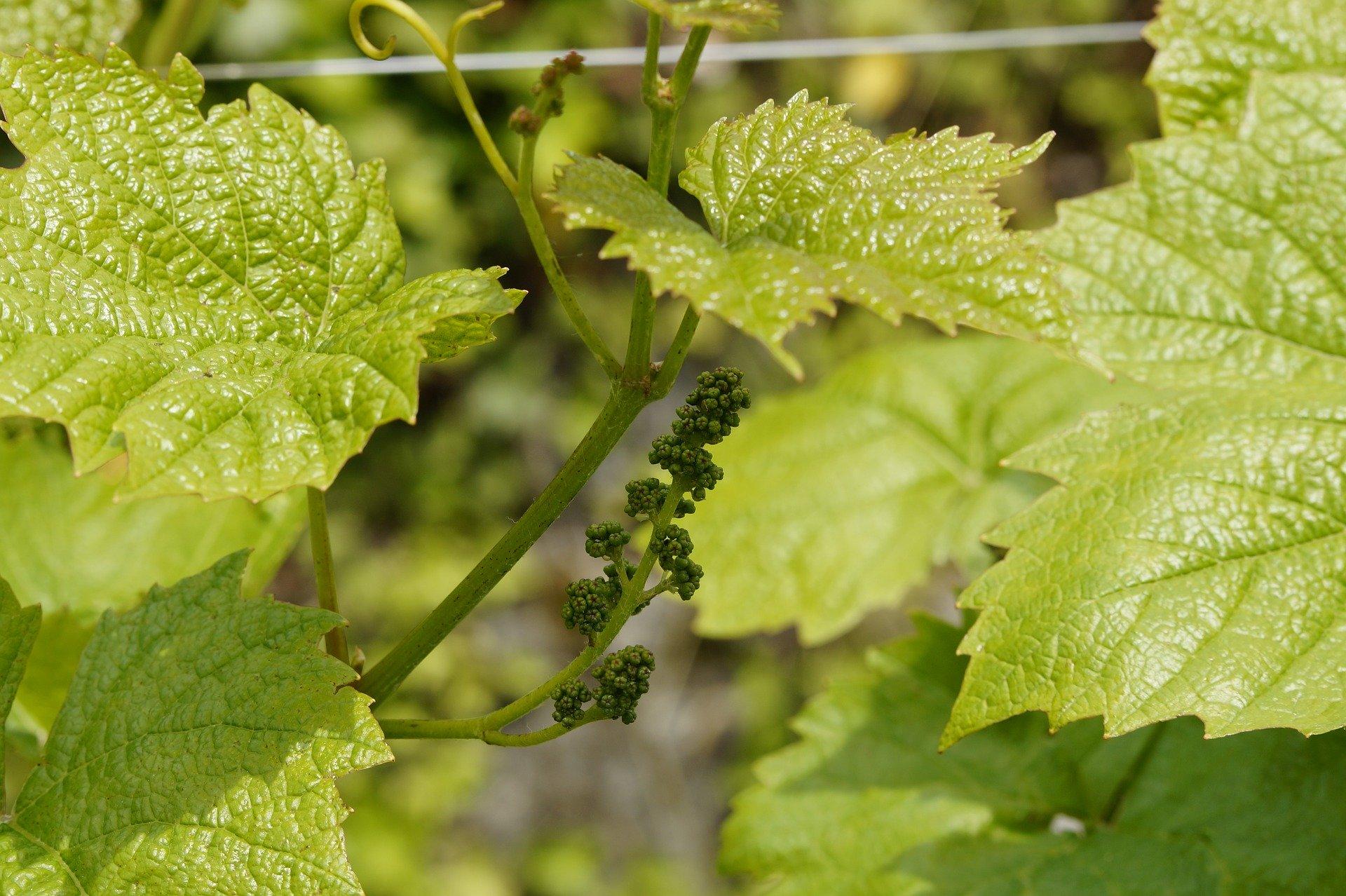 Udus - Grappolo d'uva